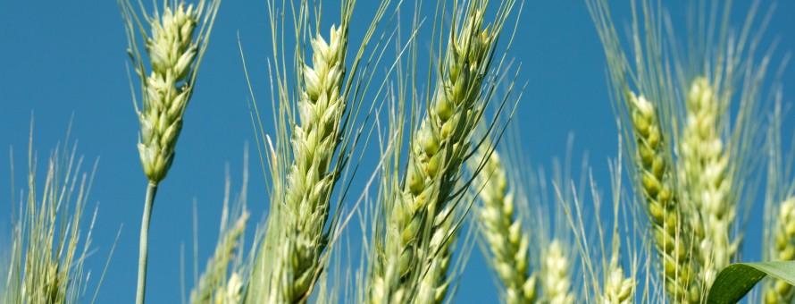 Green wheat under a blue sky